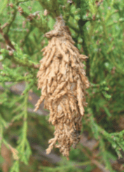 bagworm on an evergreen tree