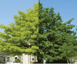 Chlorosis of trees